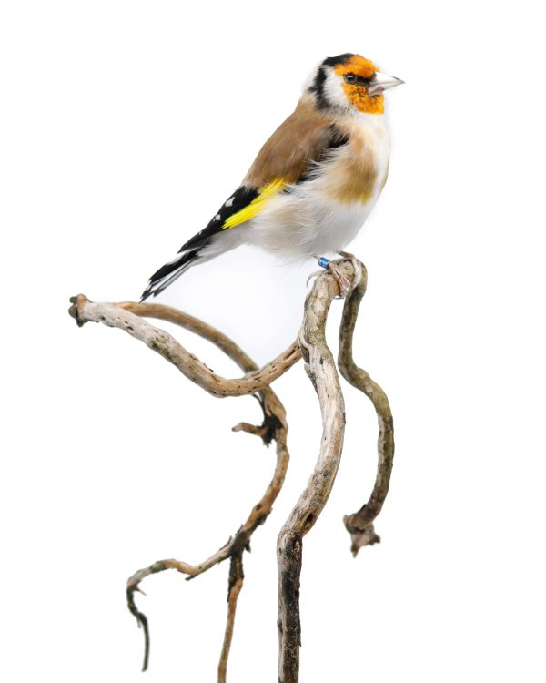 Bird Taxidermy Shop | Buy taxidermy and buy mounted birds | Koop opgezette vogels | Opgezette vogels te koop | Taxidermied Taxidermy european goldfinch for sale | Opgezette putter te koop | Opgezette vogel te koop