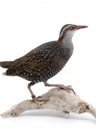 Bird Taxidermy Shop | Buy taxidermy and buy mounted birds | Koop opgezette vogels | Opgezette vogels te koop | Taxidermied Taxidermy buff-banded rail for sale | Opgezette ral te koop | Opgezette vogel te koop