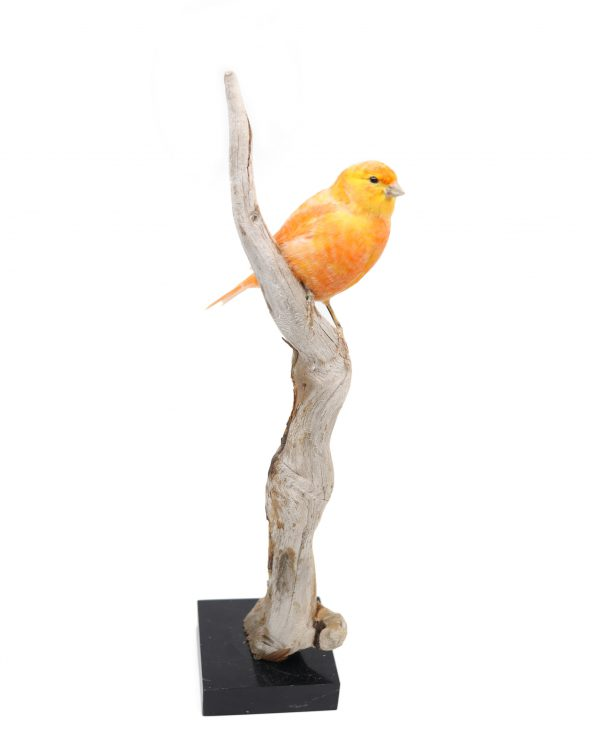 Bird Taxidermy Shop | Buy taxidermy and buy mounted birds | Koop opgezette vogels | Opgezette vogels te koop | Taxidermied Taxidermy canary for sale | Opgezette kanarie te koop | Opgezette vogel te koop
