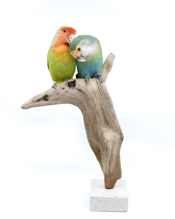 Bird Taxidermy Shop | Buy taxidermy and buy mounted birds | Koop opgezette vogels | Opgezette vogels te koop | Taxidermied Taxidermy lovebird couple for sale | Opgezette agapornissen te koop | Opgezette vogel te koop