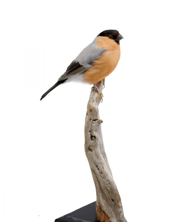 Bird Taxidermy Shop | Buy taxidermy and buy mounted birds | Koop opgezette vogels | Opgezette vogels te koop | Taxidermied Taxidermy bullfinch for sale | Opgezette goudvink te koop | Opgezette vogel te koop