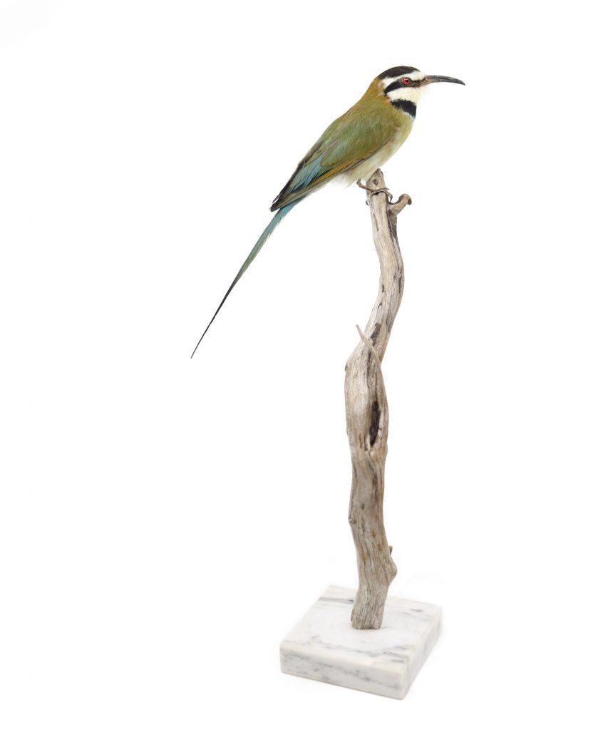 Bird Taxidermy Shop | Buy taxidermy and buy mounted birds | Koop opgezette vogels | Opgezette vogels te koop | Taxidermied Taxidermy White-throated bee-eater for sale | Opgezette bijen-eter te koop | Opgezette vogel te koop