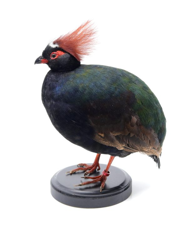 Bird Taxidermy Shop | Buy taxidermy & mounted birds | Opgezette vogels te koop - Taxidermied Taxidermy crested partridge for sale | Opgezette roel roel te koop | Opgezette vogel te koop.