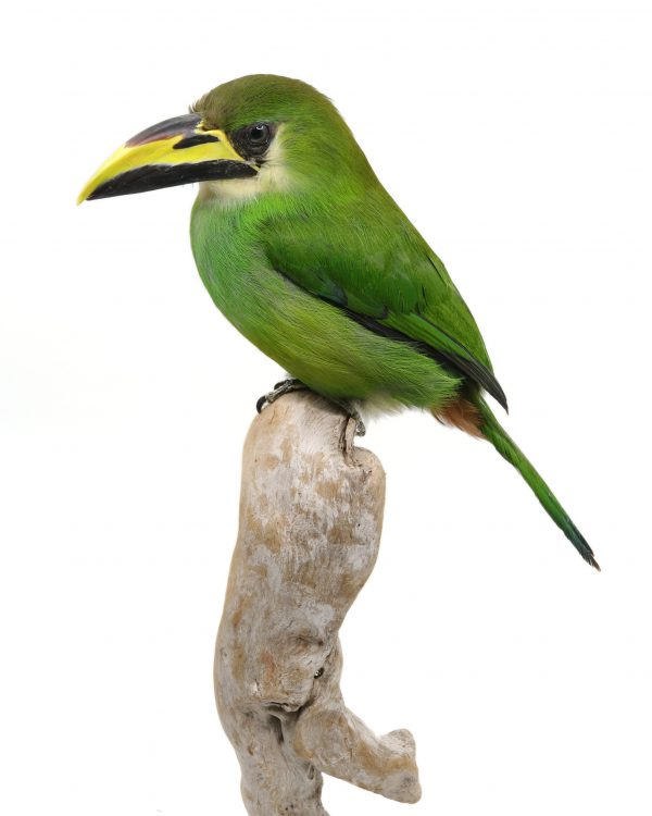 Bird Taxidermy Shop | Buy taxidermy and buy mounted birds | Koop opgezette vogels | Opgezette vogels te koop | Taxidermied Taxidermy emerald toucanet for sale | Opgezette toekan te koop | Opgezette vogel te koop