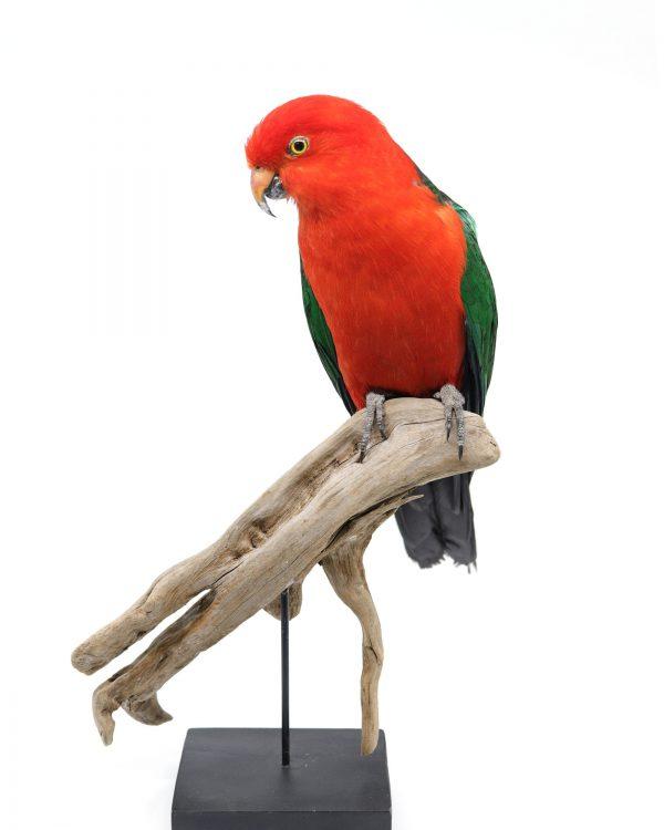 Bird Taxidermy Shop | Buy taxidermy and buy mounted birds | Koop opgezette vogels | Opgezette vogels te koop | Taxidermied Taxidermy kingparrot for sale | Opgezette koningsparkiet te koop | Opgezette vogel te koop