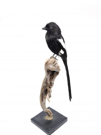 Bird Taxidermy Shop | Buy taxidermy and buy mounted birds | Koop opgezette vogels | Opgezette vogels te koop | Taxidermied Taxidermy magpie shrike for sale | Opgezette ekster klauwier te koop | Opgezette vogel te koop