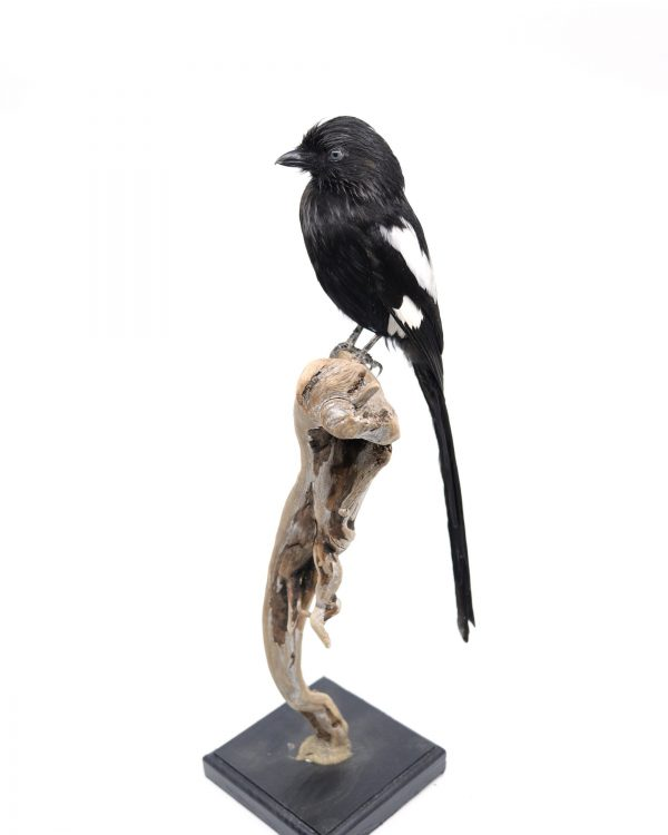 Bird Taxidermy Shop | Buy taxidermy and buy mounted birds | Koop opgezette vogels | Opgezette vogels te koop | Taxidermied Taxidermy magpie shrike for sale | Opgezette ekster klauwier te koop | Opgezette vogel te koop