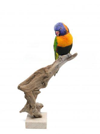 Bird Taxidermy Shop - buy taxidermy | Mounted rainbow lorikeet Opgezette regenboog lori |