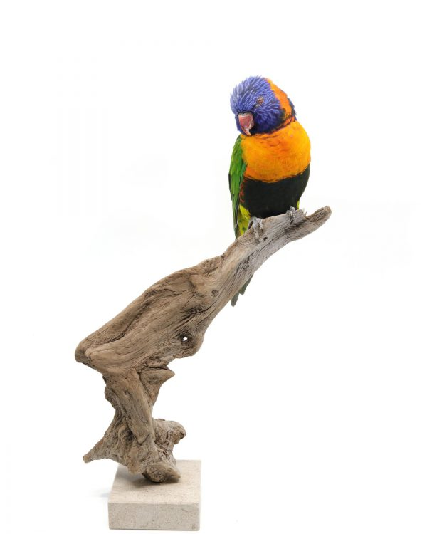 Bird Taxidermy Shop - buy taxidermy | Mounted rainbow lorikeet Opgezette regenboog lori |