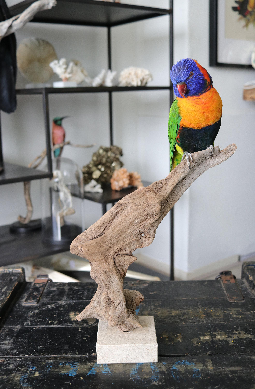 Real Red-collared lorikeet /  taxidermied - mounted -  stuffed bird / bird art  / rainbow parrot parakeet