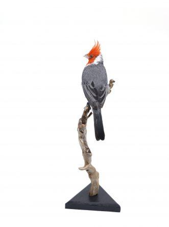 Bird Taxidermy Shop   Buy taxidermy and buy mounted birds   Koop opgezette vogels   Opgezette vogels te koop   Taxidermied Taxidermy red-crested cardinal for sale   Opgezette roodkuif kardinaal te koop   Opgezette vogel te koop