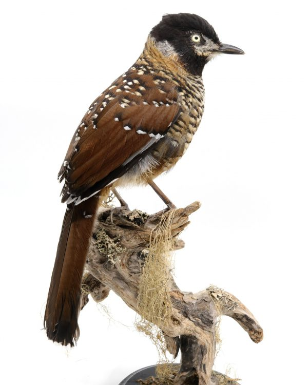 The shop for bird taxidermy, buy here your mounted bird - De winkel voor opgezette vogels - koop hier je geprepareerde vogel. | Real mounted spotted laughingthrush for sale - opgezette lijstergaai te koop.