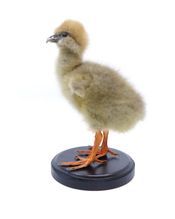 Bird Taxidermy Shop | Buy taxidermy and buy mounted birds | Koop opgezette vogels | Opgezette vogels te koop | Taxidermied Taxidermy southern screamer chick for sale | Opgezet kuiken te koop | Opgezette vogel te koop