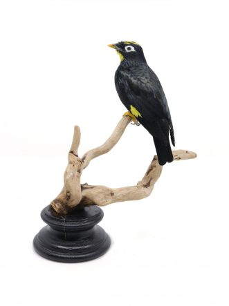 Bird Taxidermy Shop | Taxidermy Yellow-crowned myna | Opgezette vogel te koop.