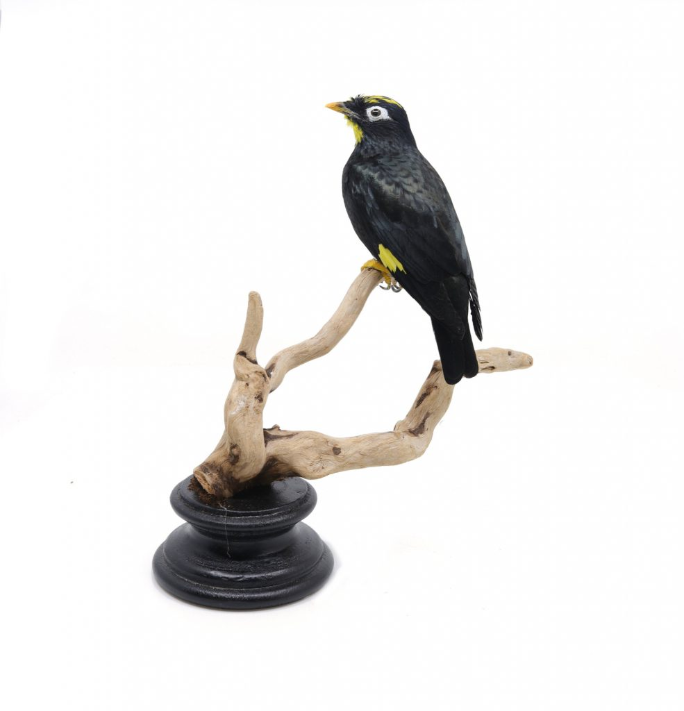 Bird Taxidermy Shop | Taxidermy Yellow-crowned myna | Opgezette vogel te koop.