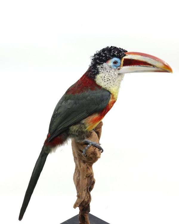 Bird taxidermy shop | Mounted curl-crested aracari toucan - opgezette toekan