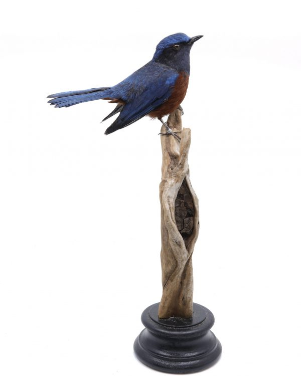 Bird Taxidermy Shop | Mounted Chestnut-bellied rock thrush| Opgezette rotslijster |