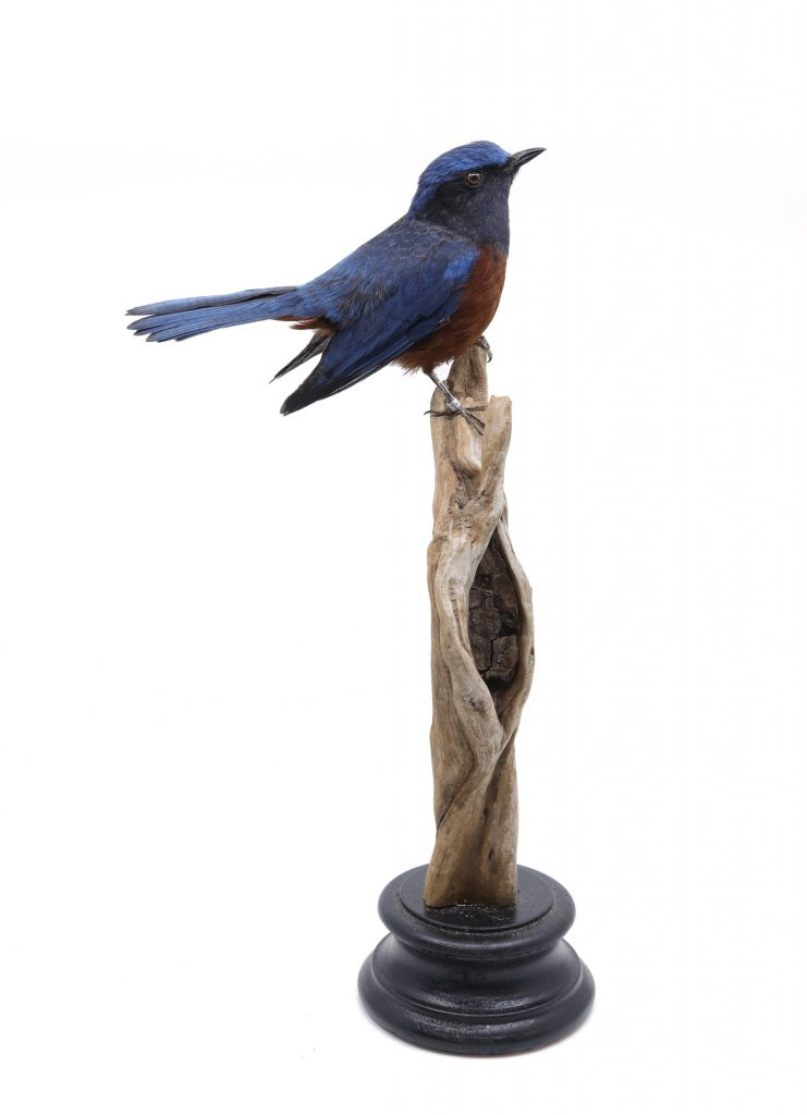 Bird Taxidermy Shop | Mounted Chestnut-bellied rock thrush| Opgezette rotslijster |