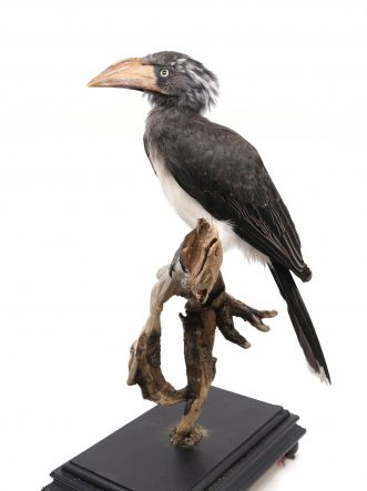 Bird Taxidermy Shop | Mounted Crowned hornbill | Opgezette kroontok |