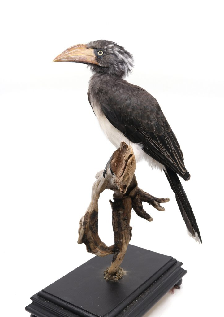 Bird Taxidermy Shop | Mounted Crowned hornbill | Opgezette kroontok |