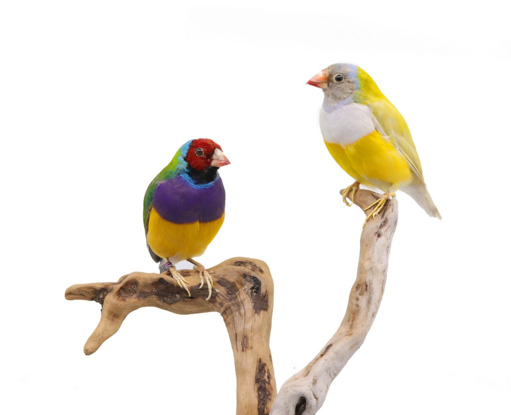 Bird Taxidermy Shop | Taxidermied gouldian finch | opgezette gouldsamadine
