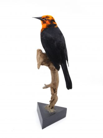 Bird Taxidermy Shop | Mounted scarlet headed-blackbird | Opgezette troepiaal |