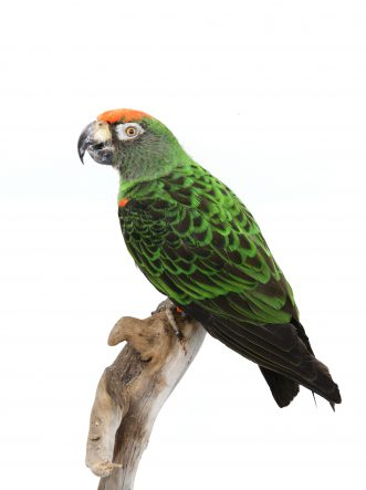 Bird Taxidermy Shop | Mounted jardine parrot - opgezette jardine papegaai