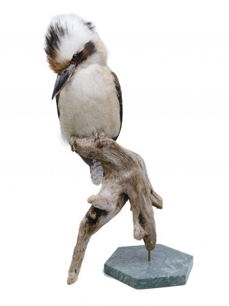 Buy the finest quality bird taxidermy here | Bird Taxidermy Shop Mounted laughing kookaburra | Opgezette ijsvogel kookaburra |