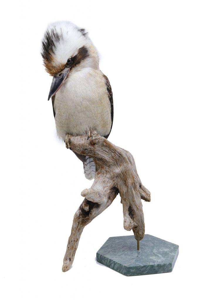 Buy the finest quality bird taxidermy here | Bird Taxidermy Shop Mounted laughing kookaburra | Opgezette ijsvogel kookaburra |