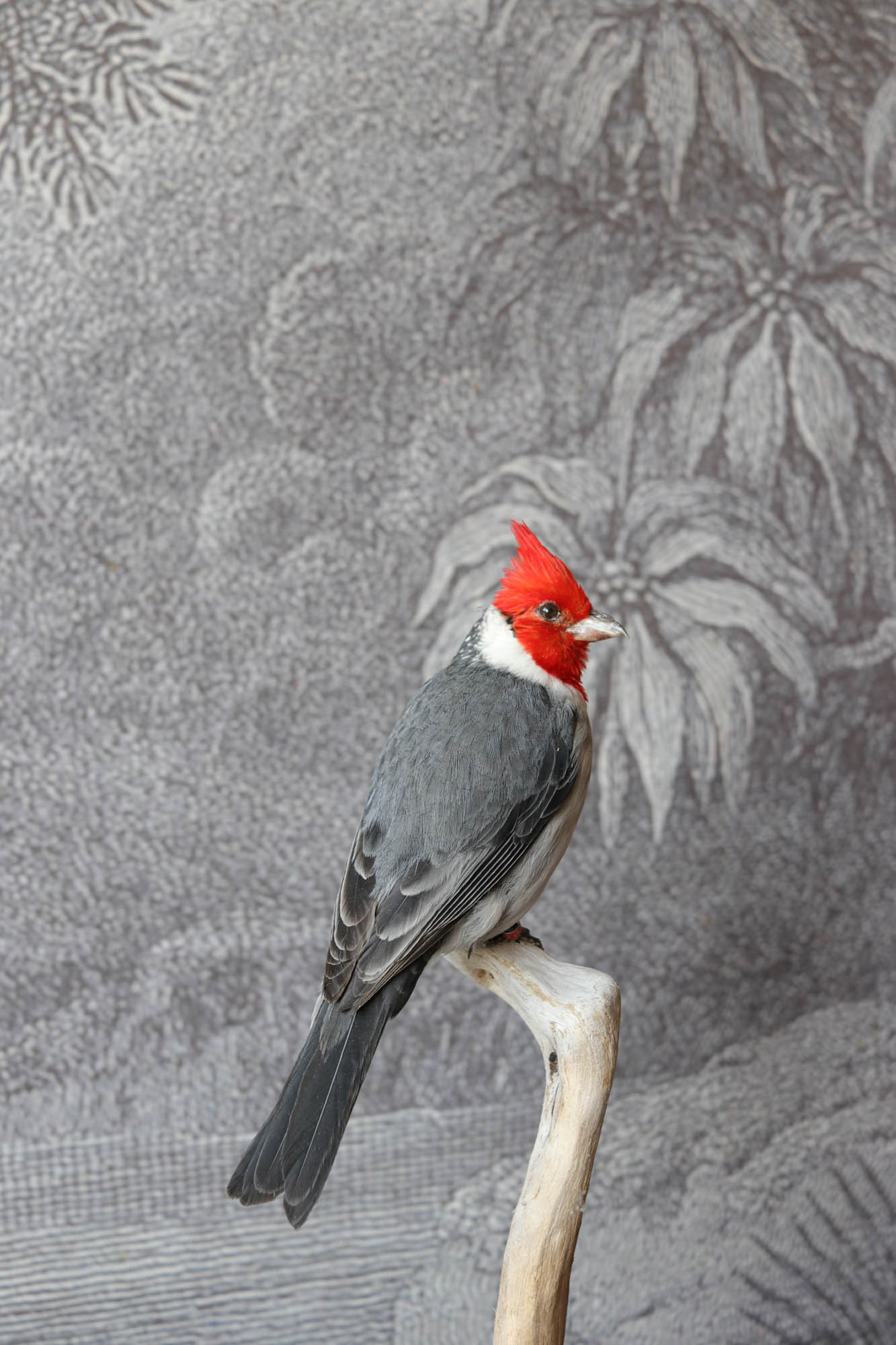 cardinalc