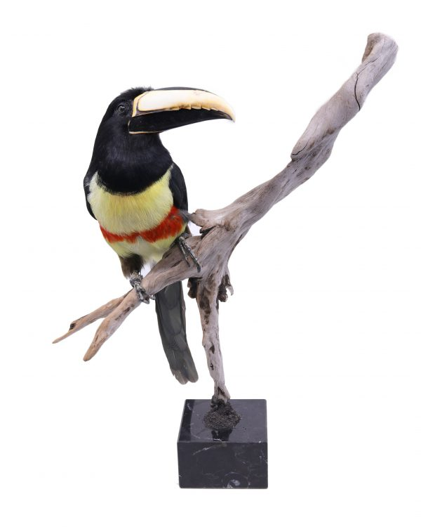 Bird Taxidermy Shop | Mounted aracari toucan | Opgezette arassari toekan |