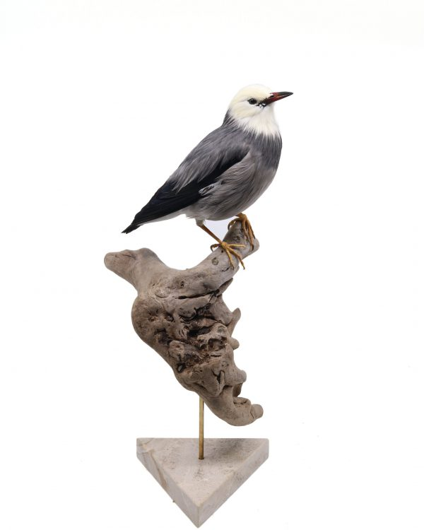 Bird Taxidermy Shop | Mounted red-billed starling | Opgezette spreeuw zijdespreeuw |