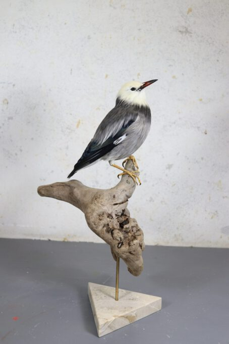 Bird Taxidermy Shop | Mounted red-billed starling | Opgezette spreeuw zijdespreeuw |