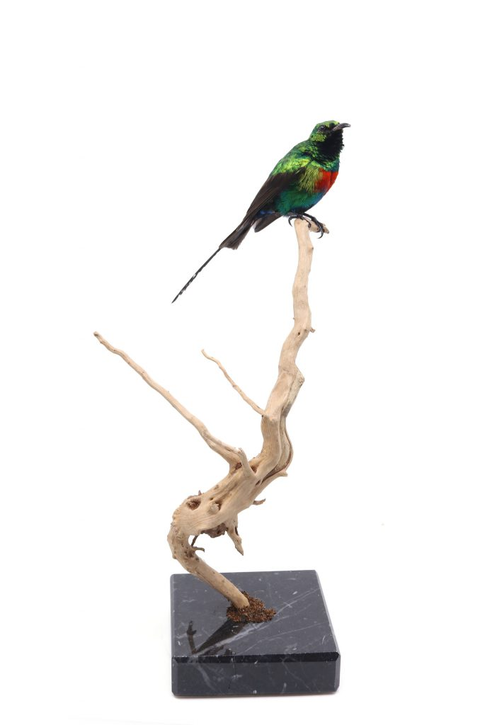 Bird Taxidermy Shop | Mounted sunbird | Opgezette honingzuiger |