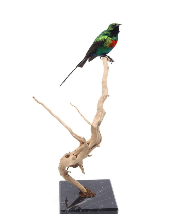 Bird Taxidermy Shop | Mounted sunbird | Opgezette honingzuiger |