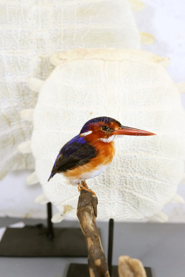 Bird Taxidermy Shop | Mounted kingfisher | Opgezette ijsvogel