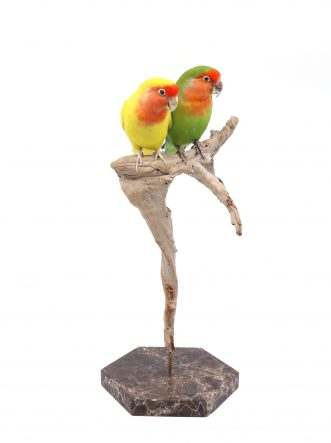 Bird Taxidermy Shop | Taxidermy lovebird couple | Opgezet agapornis koppel |
