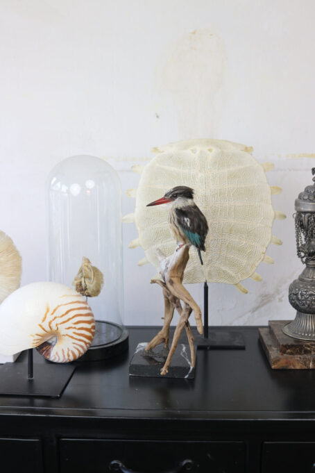 Bird Taxidermy Shop | | Taxidermy brown-hooded kingfisher | Opgezette ijsvogel |